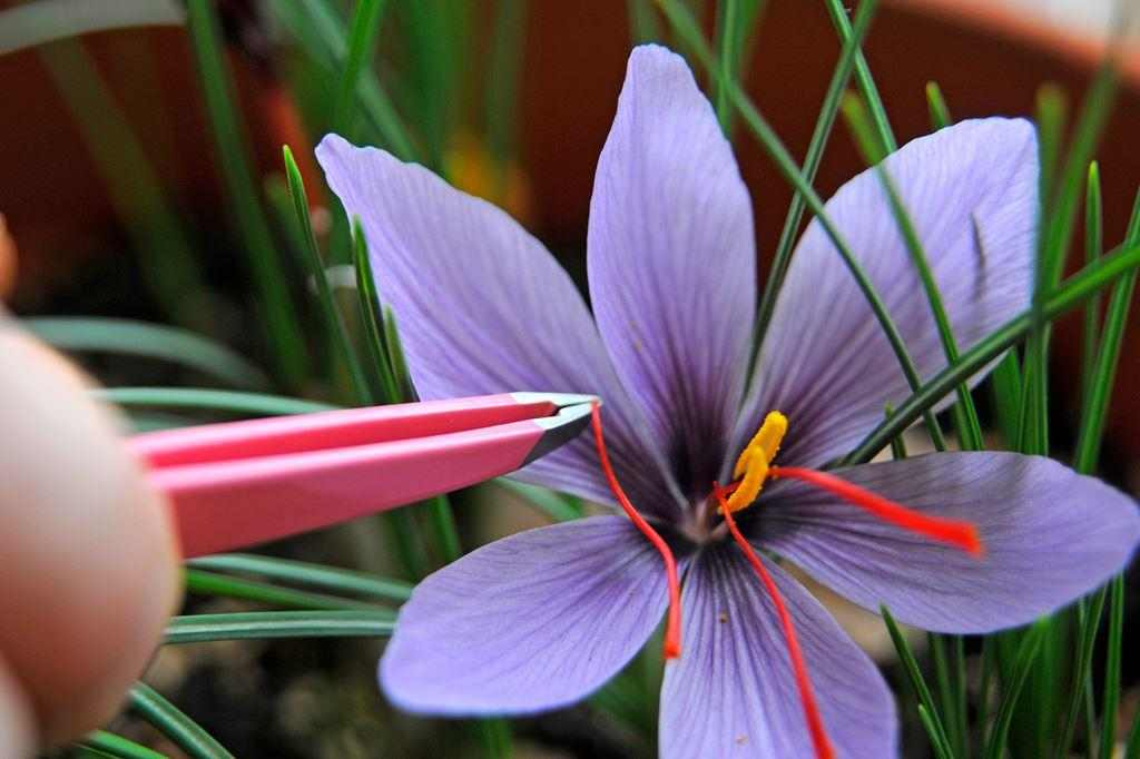 công dụng của saffron