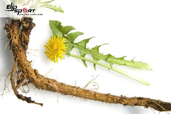 Cách tăng cân dân gian bằng rễ cây bồ công anh