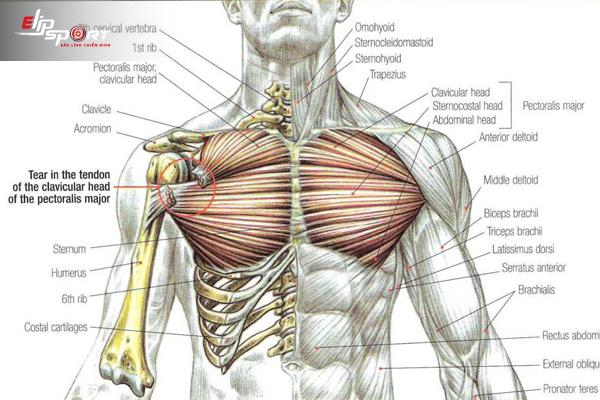 tập cơ ngực ở nhà hiệu quả