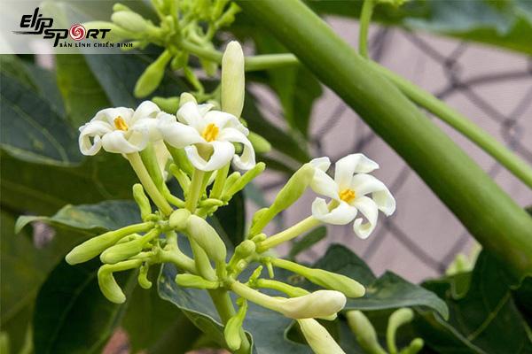 Hoa đu đủ có tác dụng gì? Cách ngâm hoa đu đủ với mật ong