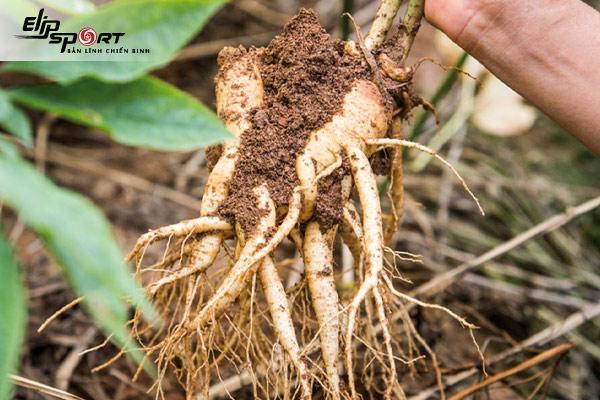 khoai sâm đất ăn như thế nào