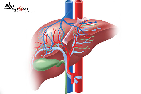 Glycogen là gì? Tác dụng của glycogen là gì?