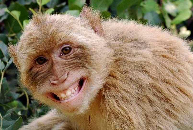 Ăn cao khỉ có tăng cân không